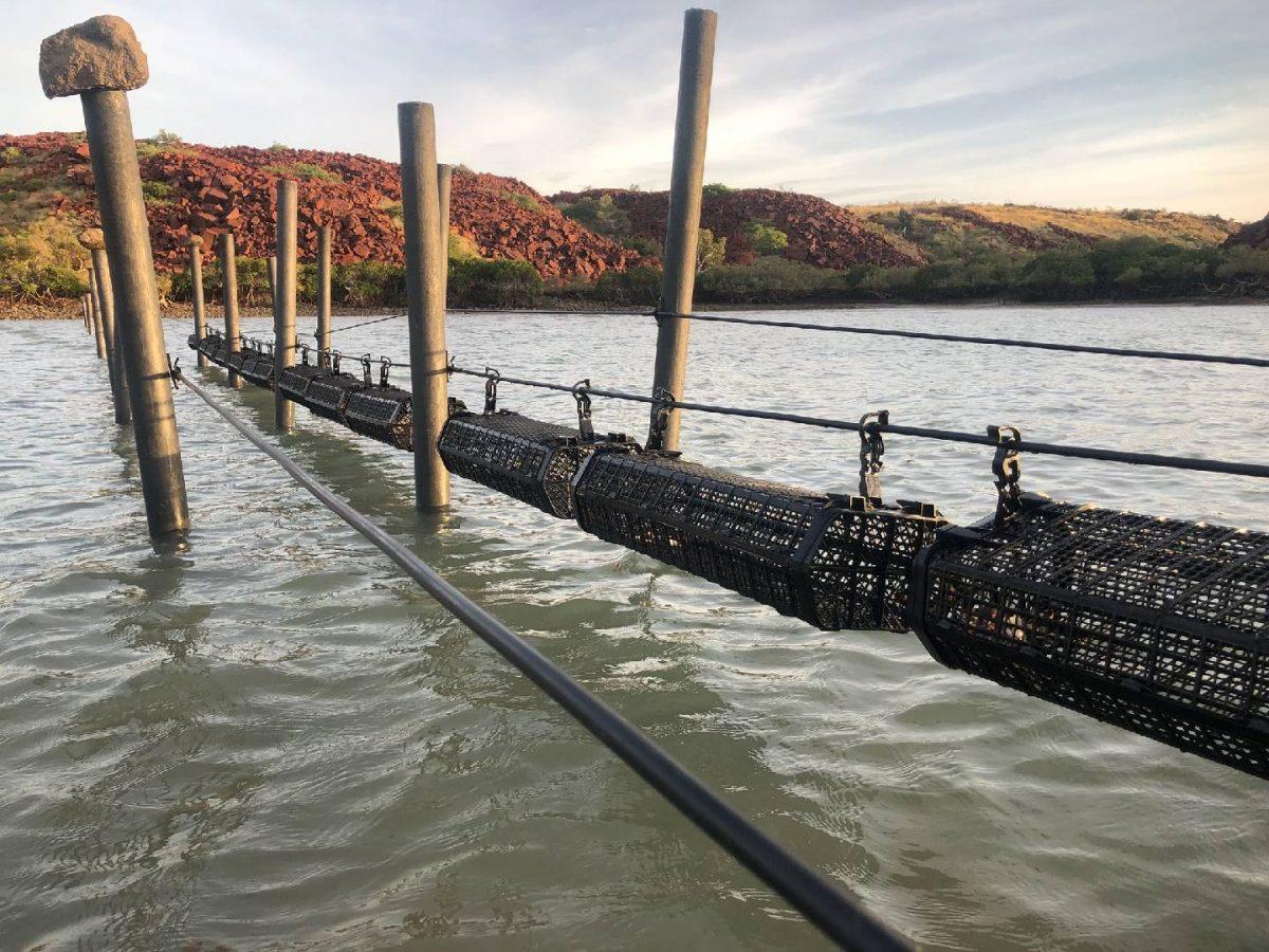 Tropical black lip rock oyster breeding trials return successful results