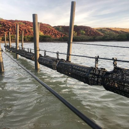 Tropical black lip rock oyster breeding trials return successful results